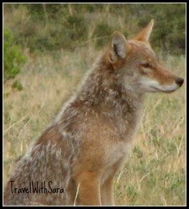 Coyote in Colorado