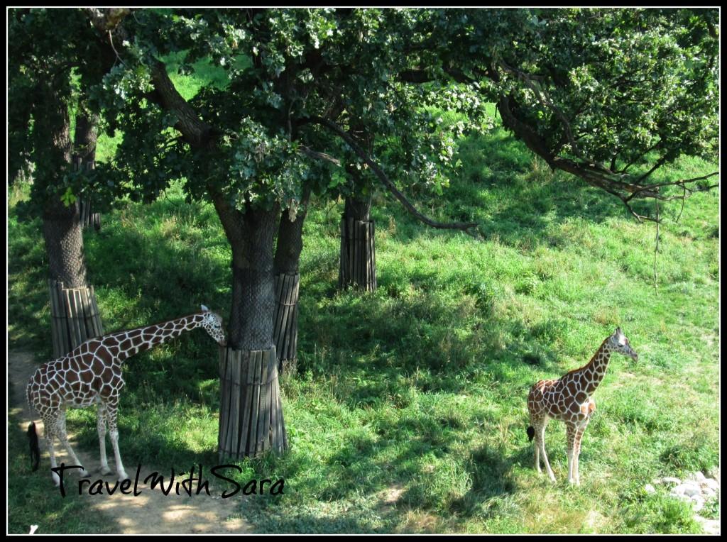 Giraffes Omaha Zoo