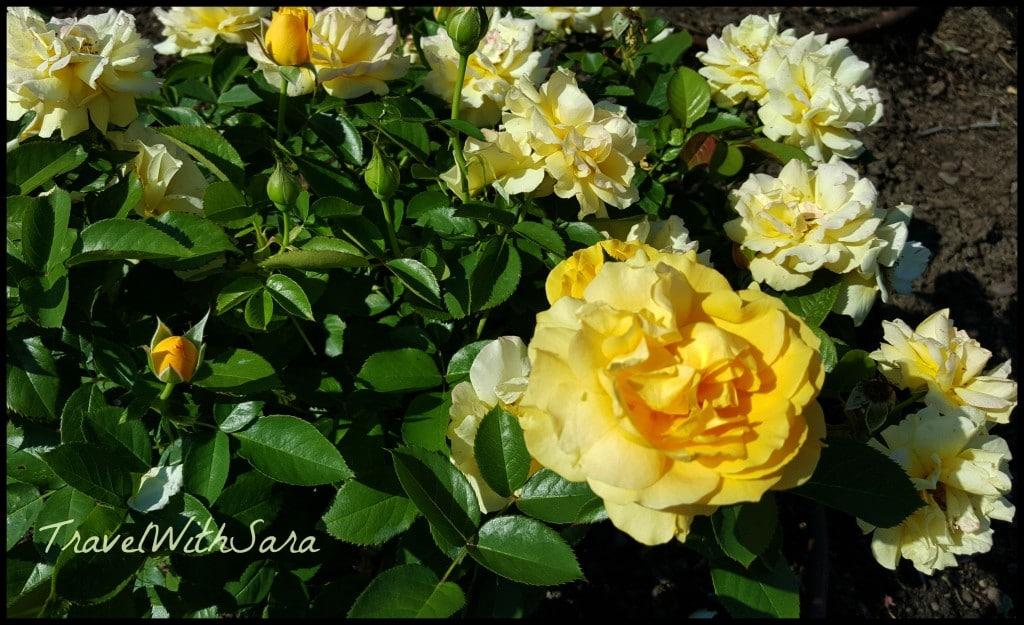 yellow roses Lauritzen Gardens