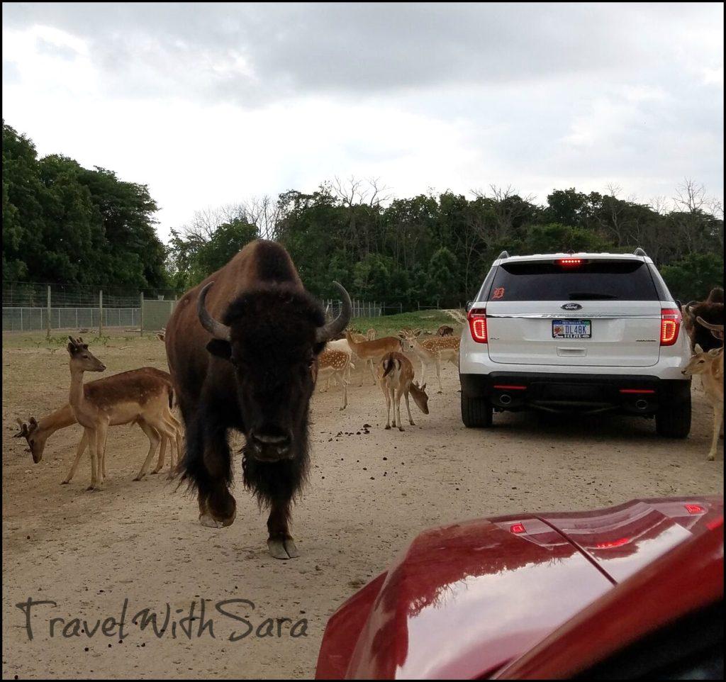 bison in wildlife park