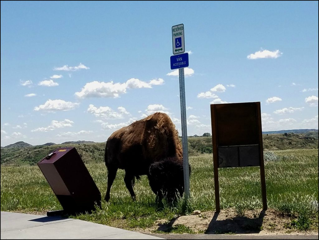 Bison Near Parking Lot