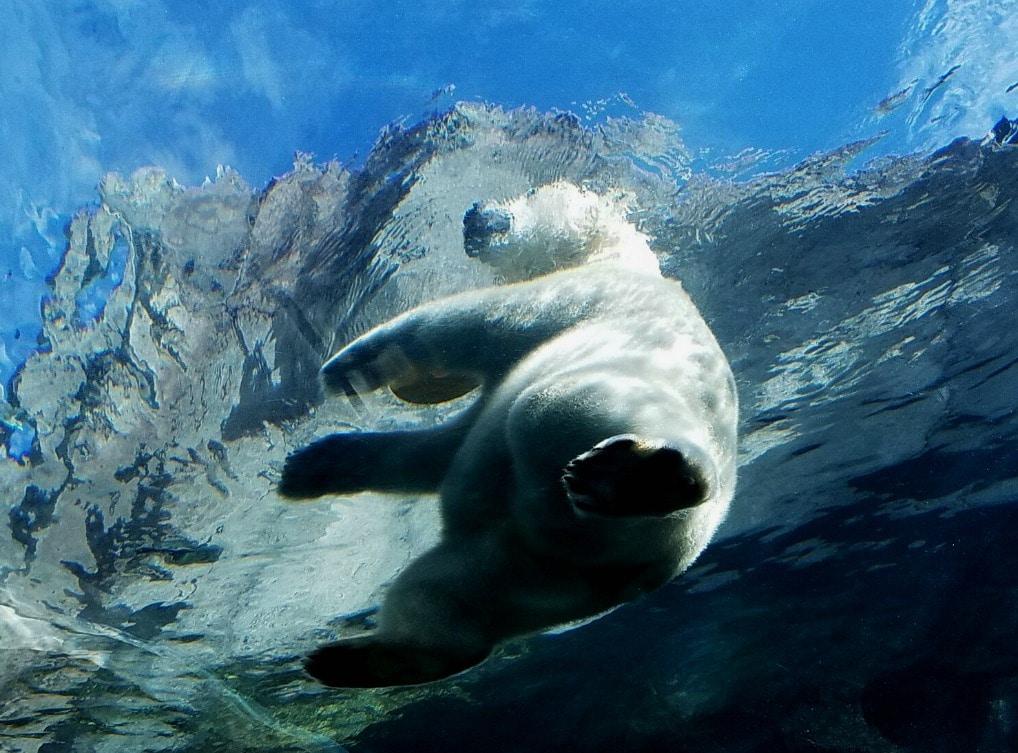 Polar Bear Walking Feature Image