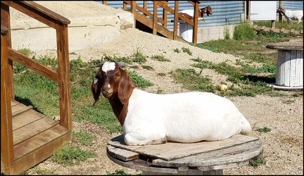 Goats Enchanted Acres