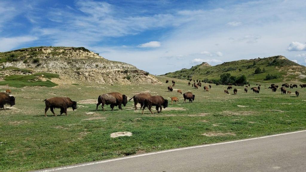 Bison Theodore Roosevelt National Park