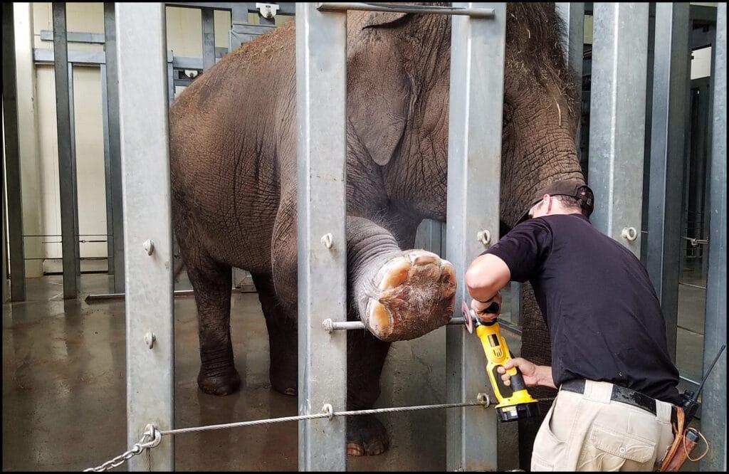 Elephant Manicure OKC Zoo