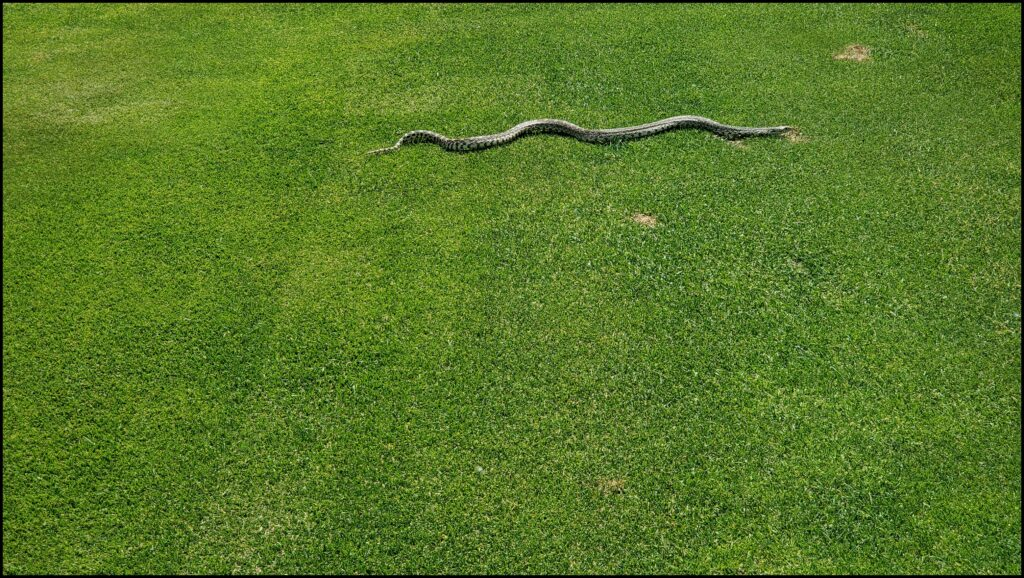 Snake on Golf Course