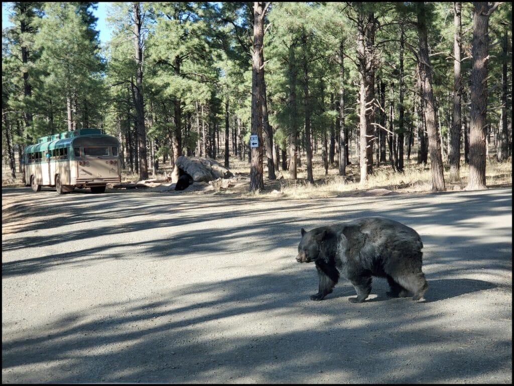 bear in bearizona arizona