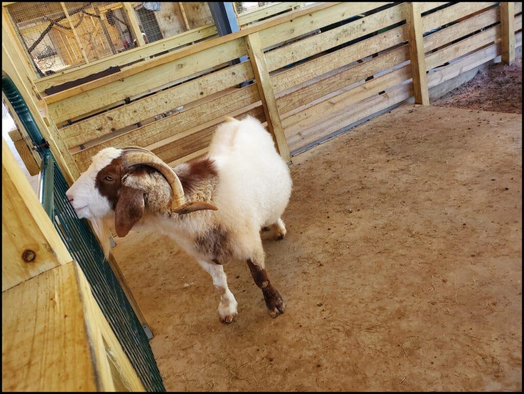 goat alabama zoo